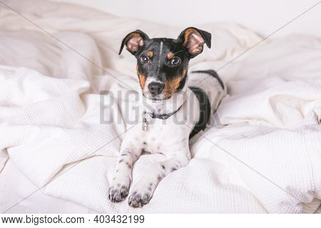 A Small White Dog Puppy Breed Jack Russel Terrier With Beautiful Eyes Lays On White Blanket. Jack Ru