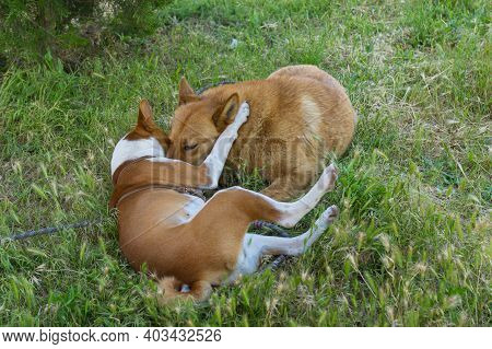 Young Basenji Dog Hug Mixed Breed Dog While Playing In Summer Grass