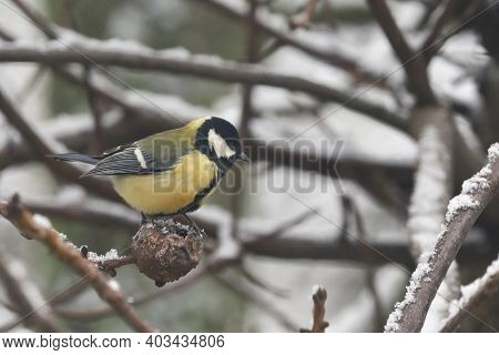 Blue Tit On A Tree Brunch In Winter Time