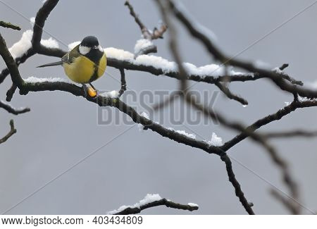 Blue Tit In The Snow On A Tree Brunch In Winter