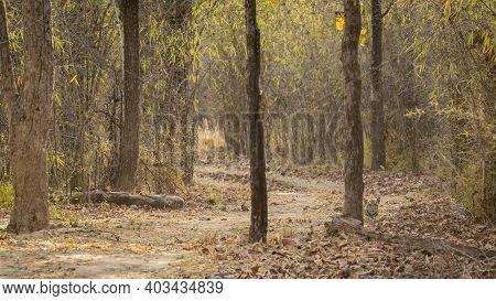 Curious Wild Tiger Cub Behind Tree Trunk At Magdhi Zone Of Bandhavgarh National Park Or Tiger Reserv