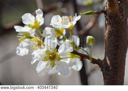 Ozark Premier Plum Flower- Latin Name - Prunus Salicina Ozark Premier