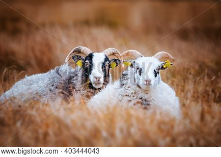 Cute Goat Couple Relaxing In The Tall Grass On A Rural Meadow In The Fall