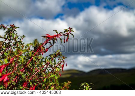 Wildflower Fuchsia Growing In County Donegal - Ireland