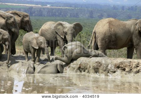 Image of a baby elephant climbing out of the water. poster