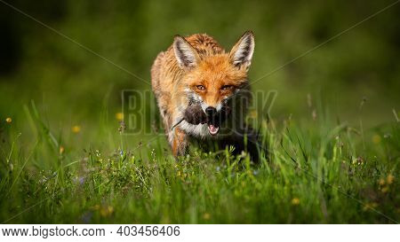 Red Fox With Mouse In Mouth On Glade In Summer Sunlight