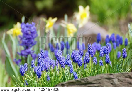 Blue Muscari Flowers In The Spring Garden