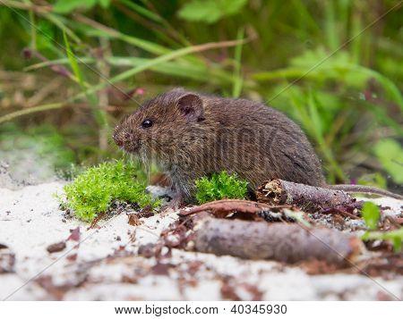 Common Vole (microtus Arvalis) In Natural Habitat