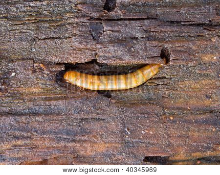 Mealworm On Wood Detail