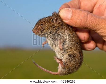 Vield Vole (microtus Agrestis) Kept In Hand By Researcher