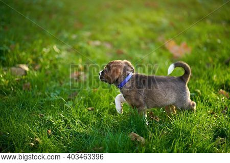 Brown Puppy With Violet Collar Walking On The Green Grass. Concept Of Relaxing Little Dog.