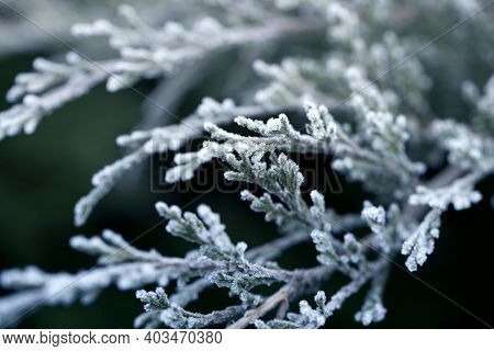 Thuja Branch Covered With White Fresh Snow In A Winter Frosty Sunny Day