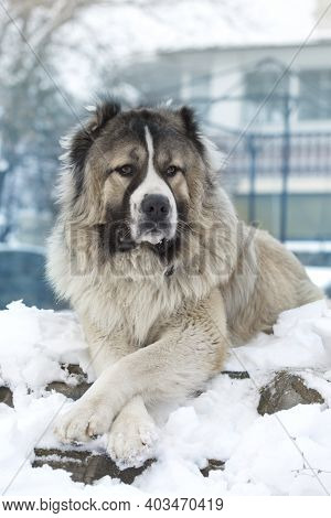 Caucasian Sheepdog In Winter Time