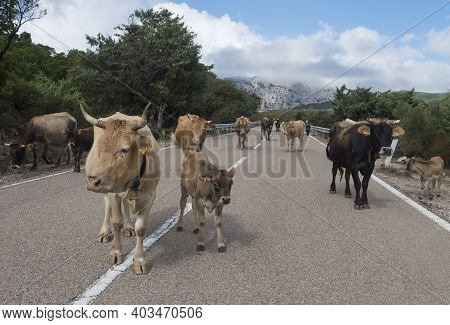 Close Up Herd Of Beige Brown Cows With Calfs Walking In The Middle Of The Asphalt Road In Supramonte