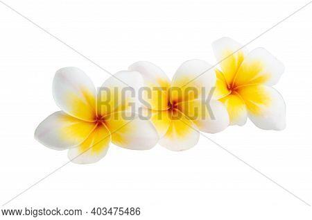 Plumeria Subtropical Flowers Isolated On White Background