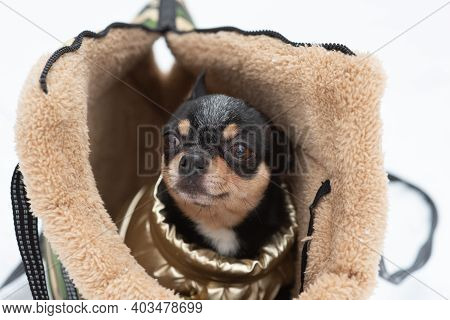 A Black-brown-white Chihuahua Peeps Out Of A Bag For Dogs. Portrait Of A Dog. Chihuahua.pet