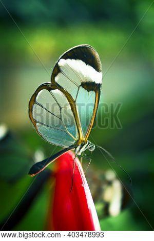 Greta Oto Butterfly Taking Pollen. No People