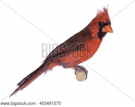 Male Northern Cardinal Aka Cardinalis Cardinalis Bird, Sitting On Wooden Stick. Isolated On White Ba