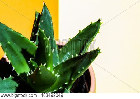 Close up from sharp cactus  needle on colored background