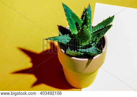Close up from cactus on colored background and shadow