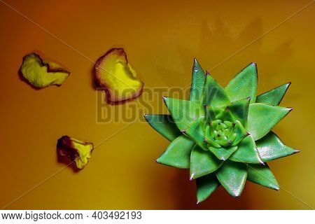 Cactus with yellow and red rose petals on dark orange colored background