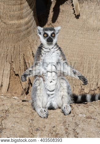 Ring Tailed Lemur Sitting In The Sun With His Arms Spread