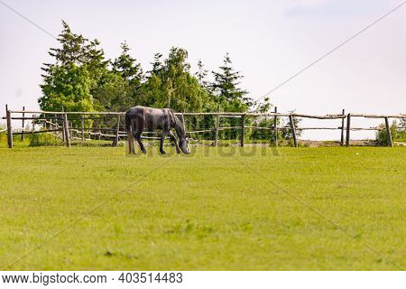 Horse Grazing In The Pasture. Gray Horse Grazing On The Background Of A Wooden Fence.