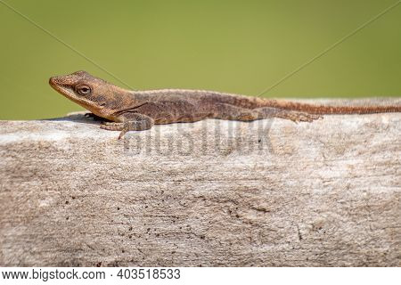 A Carolina Anole Or Green Anole Looks Inquisitive While It Rests On A Wooden Fence.