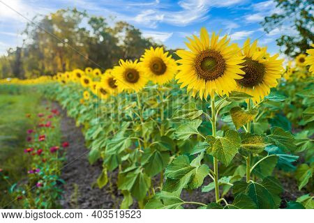 Sunflowers Field Blooming Background Summer Blue Sky Background In Thailand
