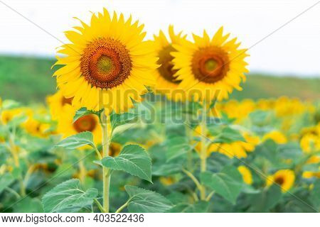 Sunflower Field In Garden Blue Sky, Beautiful Sunflower Nature Flowers On Daytime, Organic Agricultu
