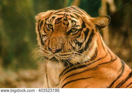 Sibirian Tiger, Amur Tiger, Were Gazing With Awe-inspiring Gaze.