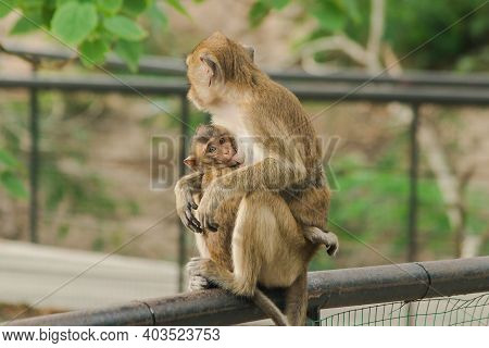 The Baby Monkeys Feed On The Milk From The Sitting Mother.