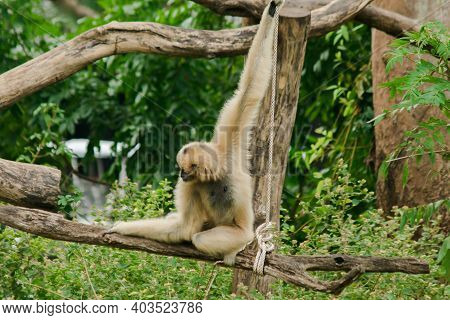 A Female Pileated Gibbon Hanging On A Tree.