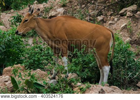 Banteng Was Eating A Young Grass, A Young Bamboo Leaf.banteng Is A Type Of Wild Cattle. Shaped Like