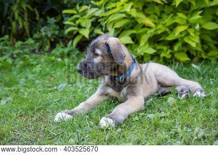 Portrait Of A Dog Breed Irish Wolfhound In A Summer Nature Park.beautiful Beige Irish Wolfhound Dog