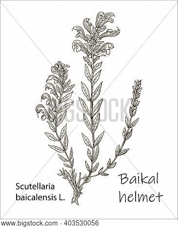 Scutellaria Baicalensis - Siberian Herbs. Handdrawn Illustration - Health And Nature Set