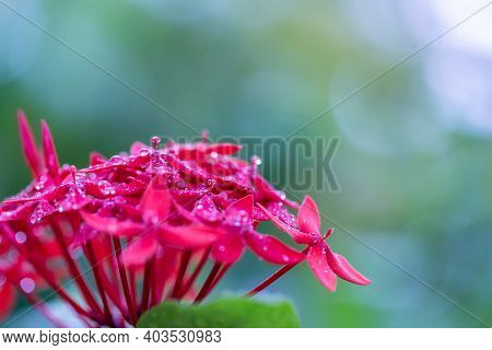 Tropical Plant Clivia With A Blossoming Red Flower Buds. Exotic Potted Houseplant. Picturesque Macro