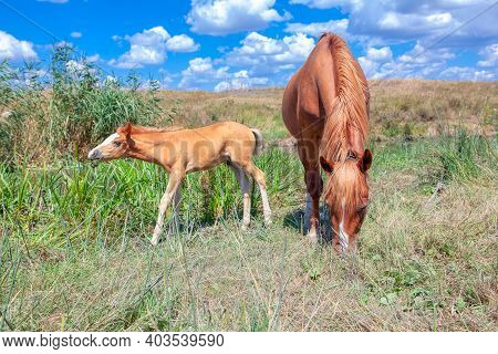 Adorable Foal And Mare On The Meadow