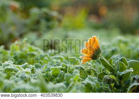Beautiful Orange Daisy Flower With White Frost, Sunny Cold Morning Background