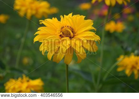 Heliopsis In The Sun. Heliopsis Flower Up Close During A Sunny Summer Day. Sunny Flower, Yellow, Mar