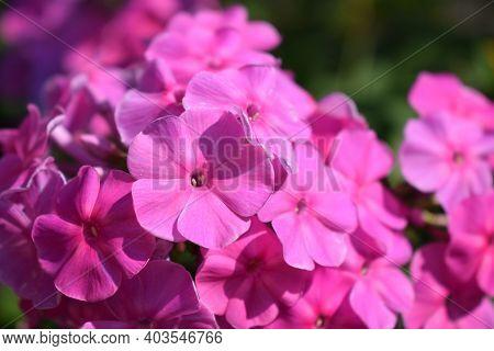 Pink Phlox. Purple Flowers Phlox Paniculata. Flowering Branch Of Purple Phlox In The Garden On A Sun