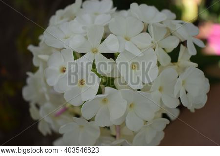 Closeup Of White Phlox's. Beautiful Flowers White Phlox's. Perennial Phlox With White Flowers (phlox