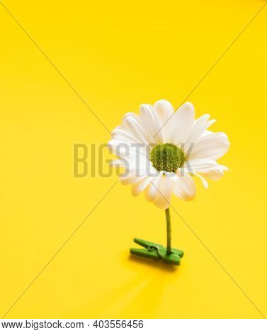 Closeup White Daisy Flower Standing On Yellow Background