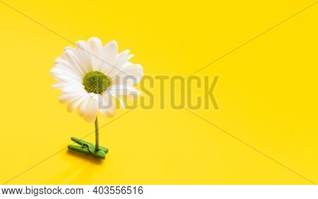White Daisy Flower Standing On Yellow Background