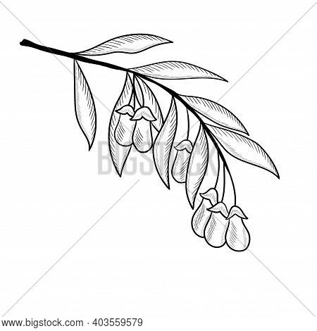 Superfood Organic Asian Berry. Illustration In Sketch Style, Hand Drawing. Goji Berry, Fruit, Leaf,