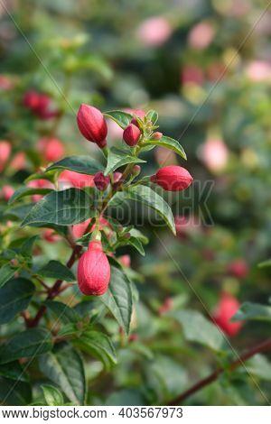 Hybrid Fuchsia Flower Buds - Latin Name - Fuchsia X Hybrida