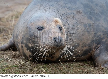Close Up Of The Head Of A Grey Seal As It Lies On The Sand. Prominent Whiskers In Detail And Eyes Wi