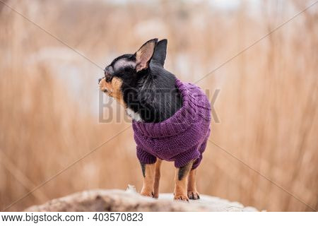 Pet Dog Chihuahua Walks On The Street. Chihuahua Dog For A Walk. Dog In The Autumn Walks In The Park