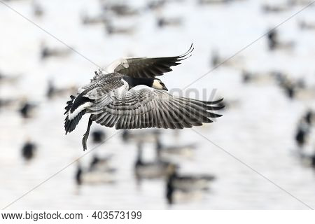 Barnacle Goose In Autumn Migration On A Chilly Autumn Day