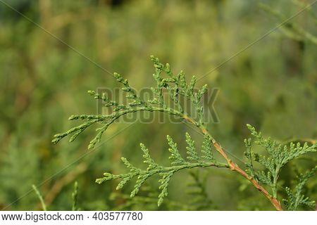 Arborvitae Brabant Branch - Latin Name - Thuja Occidentalis Brabant